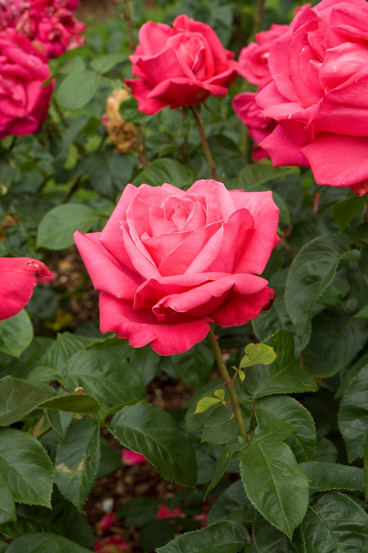 Hình ảnh hoa hồng trong vườn