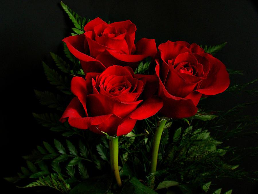 Hình ảnh những bông hoa hồng đẹp