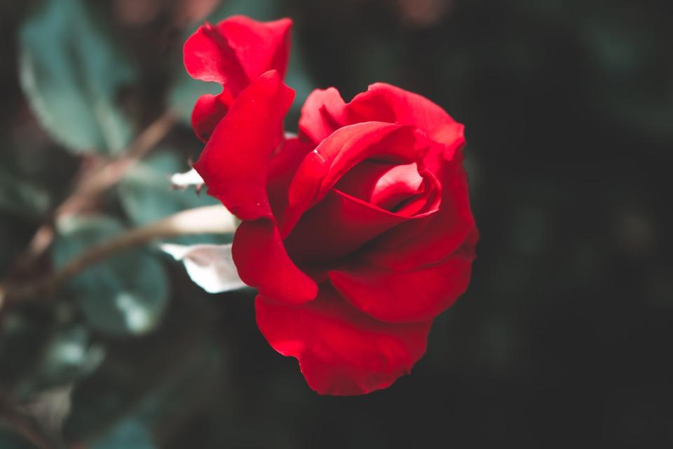 Những hình ảnh hoa hồng lãng mạn